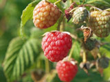 Autumn Raspberry