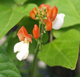 Runner Bean 'Painted Lady'